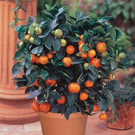 size fruit trees for sale tangerine citrus trees stark bro s
