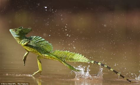 water lizard lizard skips across lake in bence mate photograph daily mail