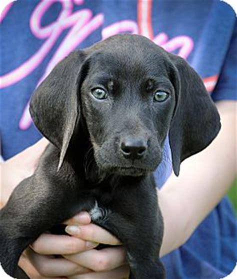 weimaraner lab puppies vienna adopted puppy d 4416 mt prospect il weimaraner labrador retriever mix