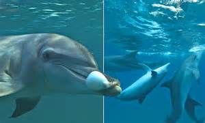 Dolphin Blowfish Detox Vidio by What Does A Dolphin Use To Get High A Toxic Puffer Fish