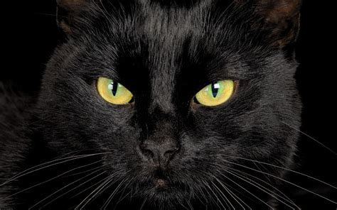 black cat serious black cat closeup wallpapers and images