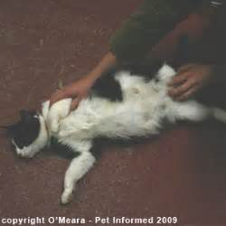 pregnant cat stages of pregnancy images amp pictures becuo