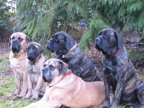 mastiff colors excitement n net dogs mastiff