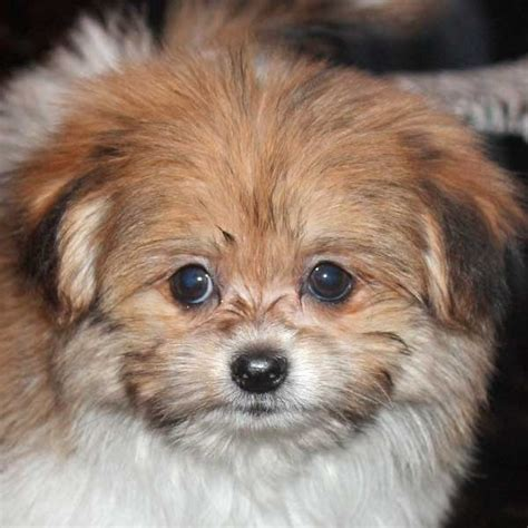 shih poo pomeranian mix pom shih puppy for sale in boca raton south florida