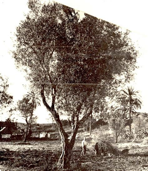 the museum of the san fernando valley mother of olive trees