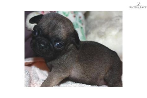 akc pug puppies pug puppy for sale near fresno madera california b54db147 a5b1