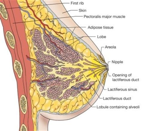 self breast diagram 24 best images about all about anatomy
