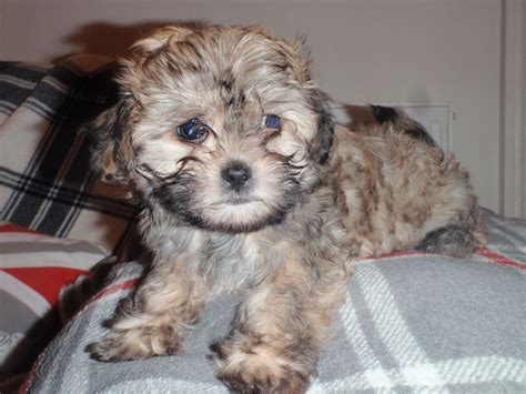 pictures of shih tzu poodles shih tzu poodle puppies