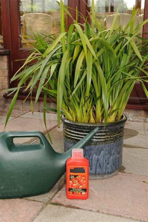how to water and feed cymbidium orchids orchid care guide feed cymbidium orchids
