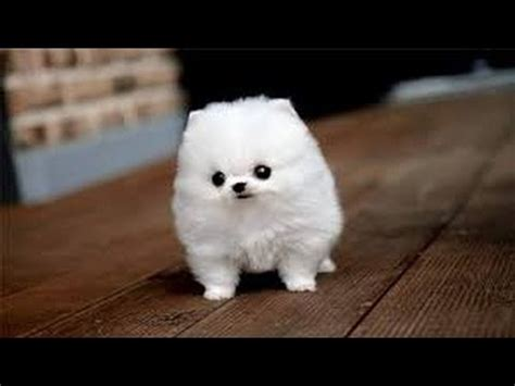 half husky and half pomeranian pomsky pomsky puppies half husky half pomeranian pomsky