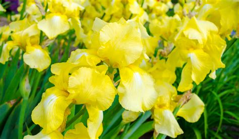 top 28 do irises need sun bearded irises need sun in order to bloom bloom for 211 best