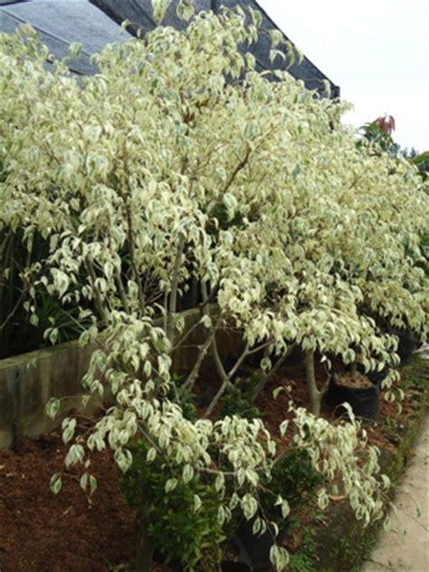 Bibit Bunga Air Mancur Putih beringin putih jual tanaman hias jual desain landscape