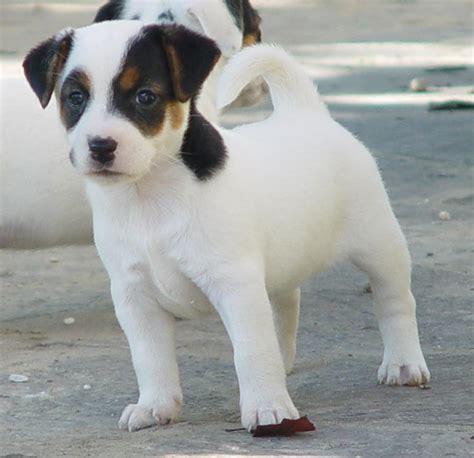 russel alimentazione cuccioli terrier