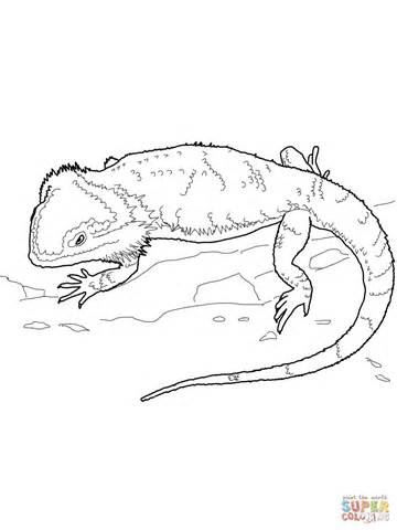 Bearded Coloring Pages bearded coloring pages dragoart coloring pages