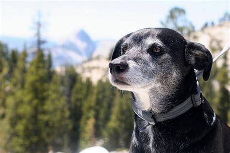 dogs in yosemite dogs in yosemite national park