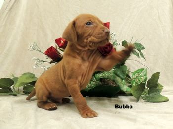 vizsla puppies for sale az the happy woofer vizsla delaware breeder puppies for sale
