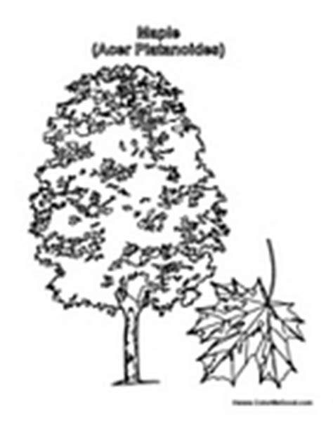 coloring page of maple tree how to draw maple tree