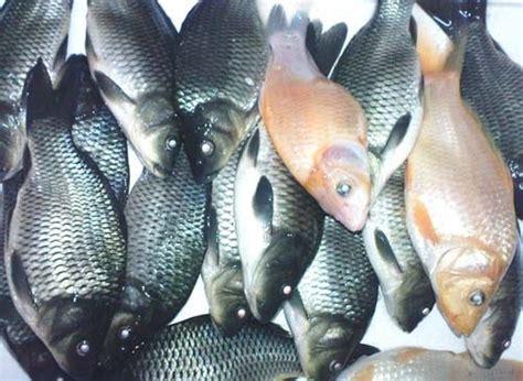Jual Belut Konsumsi jual ikan jual ikan nila dan belut peternakan ikan