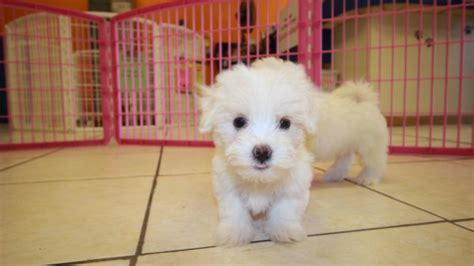 teacup maltese puppies for sale in ga friendly teacup maltese puppies for sale in ga at puppies for sale local breeders