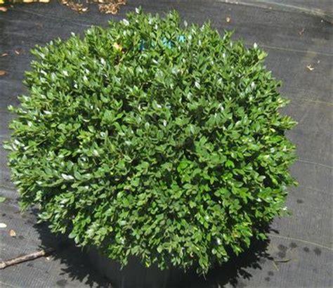 green velvet canada buxus x green velvet boxwood from pleasant run nursery