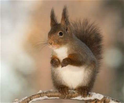 how to get rid of squirrels in house how to get rid of squirrels critter control dallas