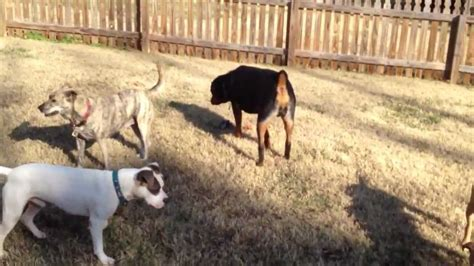 pitbull vs rottweiler who would win pics for gt pitbull vs rottweiler who would win