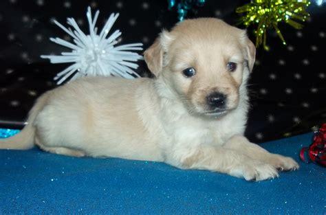 miniature golden retriever ohio miniature golden retriever puppies