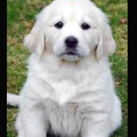 golden retriever breeders in minnesota pin golden retriever puppies mn wi on