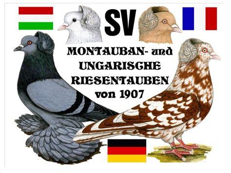 si鑒e montauban sv montauban und ungarische riesentaube e v