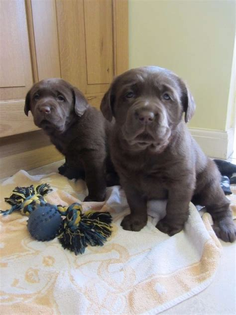 chocolate lab puppies for sale pedigree chocolate labrador puppies for sale in
