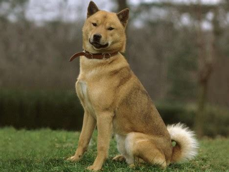 Ainu Dog - Pictures, Diet, Facts, Habitat, Behaviour, Life ...