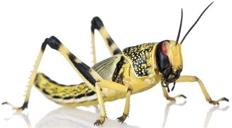 large locusts 20 35mm 100 bag livefood