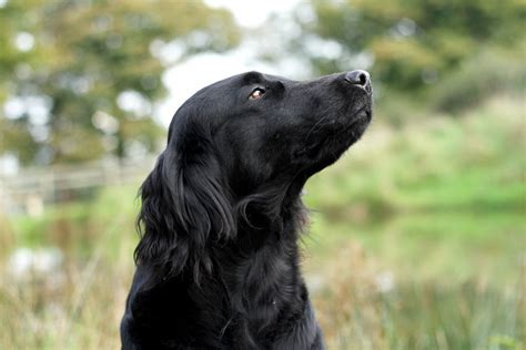 flat coat retriever puppies for sale stunning flatcoated retriever puppies bristol bristol pets4homes