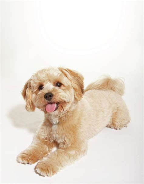 mix yorkie and poodle yorkie poodle mix with tongue out photograph by majchrzakmorel