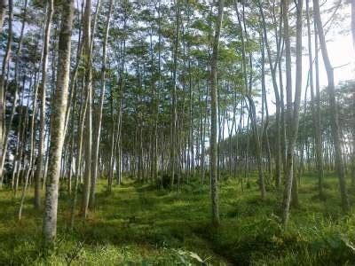 Bibit Pohon Sengon Solomon contoh budidaya pohon sengon solomon jualbenihmurah