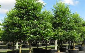 Types Of Garden Mulch - dahoon holly tree for sale naples