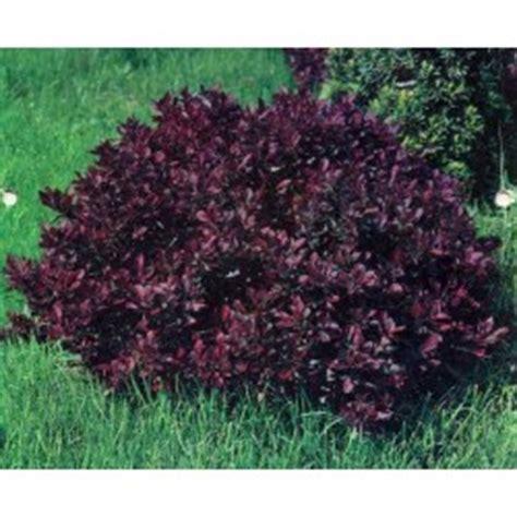 Dupa Tahio Lingkar 8 Nanas 1 arbori si arbusti ornamentali veky garden