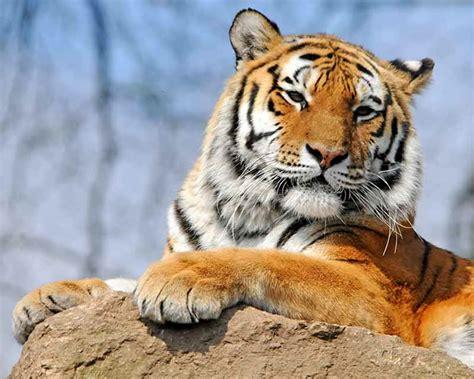 imagenes tumblr de tigres tigres im 225 genes y fotos