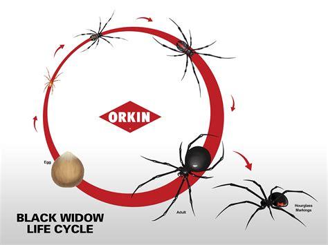 diagram of a black widow spider black widow spider thinglink