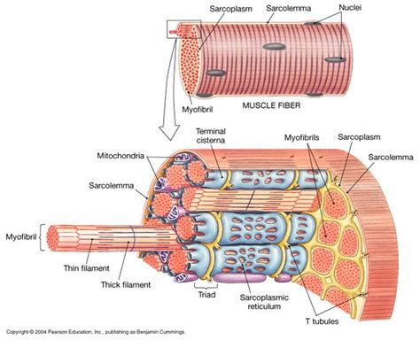 myofibril diagram the trenches of discovery the human machine pistons and