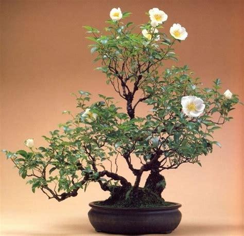bonsai fiori bonsai curare bonsai pianta bonsai