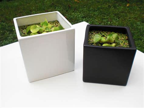 piante acquatiche in vaso piante acquatiche in vaso per casa e giardino