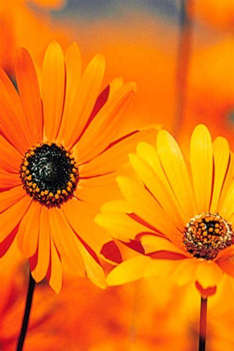 wallpaper flower iphone hd orange sun flower iphone wallpaper download 640x960 150966