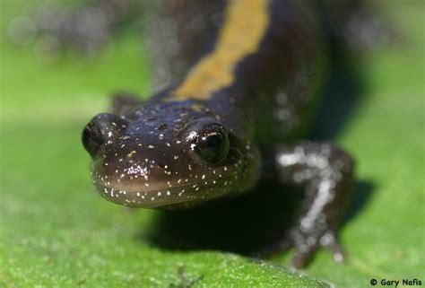 idahoherps ambystoma macrodactylum long toed salamander