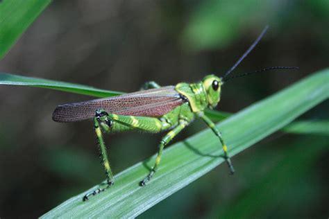 imagenes de grillos verdes los insectos que rompen records taringa
