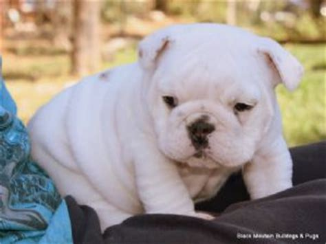 bulldog puppies for sale houston houston bulldog puppies for sale