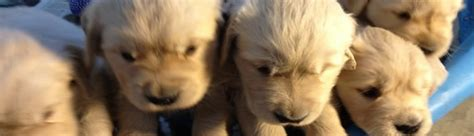 golden retriever puppies ct for sale golden retriever puppies for sale in massachusetts crane hollow goldens
