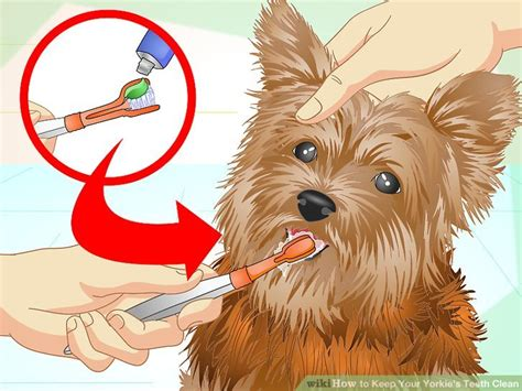 how to clean a yorkies how to keep your yorkie s teeth clean with pictures wikihow