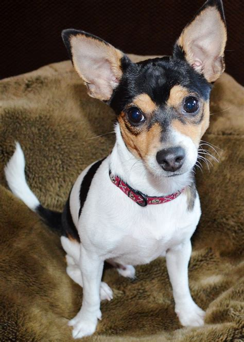 rat terrier chihuahua mix puppies rat terrier info temperament care puppies pictures