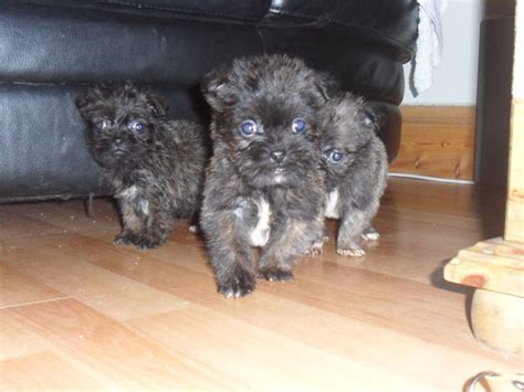 pug lhasa apso pug x lhasa apso new tredegar caerphilly pets4homes